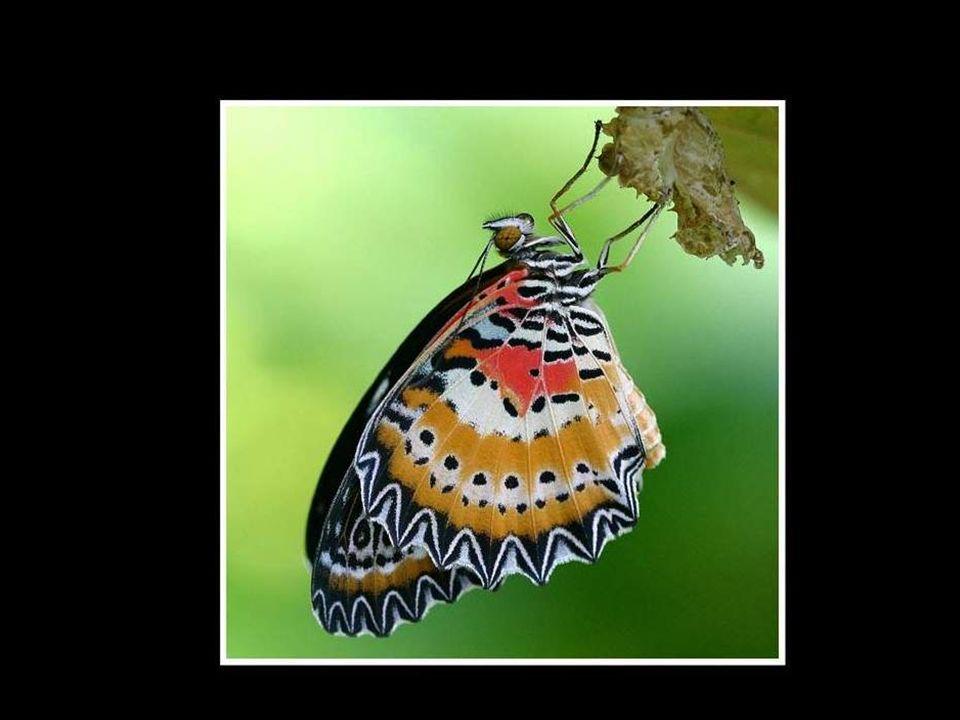 Un día, en una pequeña abertura apareció una oruga; un hombre se sentó a observar a la mariposa durante varias horas, viendo cómo se esforzaba para hacer que su cuerpo saliera a través de aquel pequeño agujero….