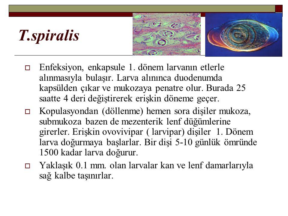 T.spiralis  Enfeksiyon, enkapsule 1. dönem larvanın etlerle alınmasıyla bulaşır.