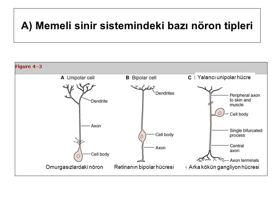 A) Memeli sinir sistemindeki bazı nöron tipleri Retinanın bipolar hücresiOmurgasızlardaki nöronArka kökün gangliyon hücresi Yalancı unipolar hücre