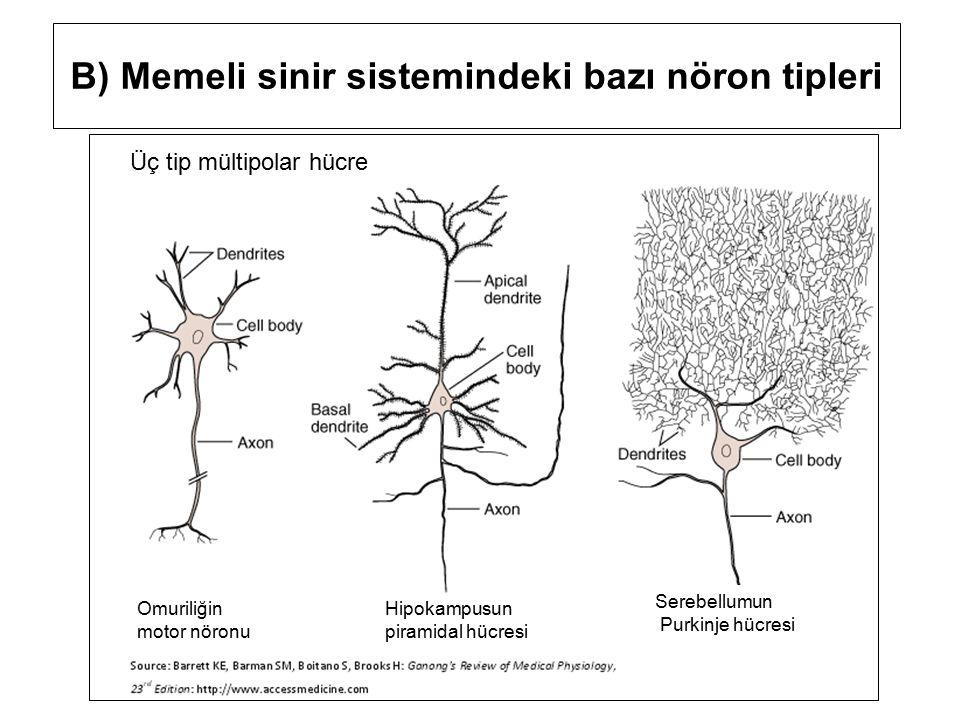 B) Memeli sinir sistemindeki bazı nöron tipleri Üç tip mültipolar hücre Serebellumun Purkinje hücresi Hipokampusun piramidal hücresi Omuriliğin motor nöronu