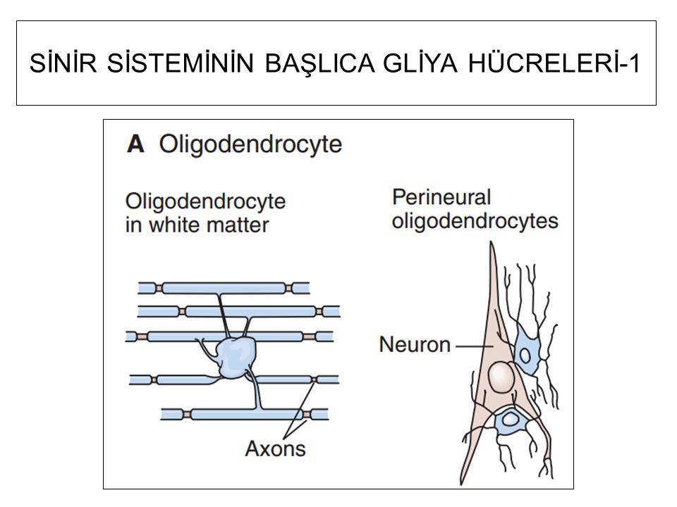 Nörotrofin üreten hücreler Sinirin innerve ettiği kas ya da diğer doku Sinirin kendisi (kavşak ardı-postsinaptik- nöronu etkiler Astrositler