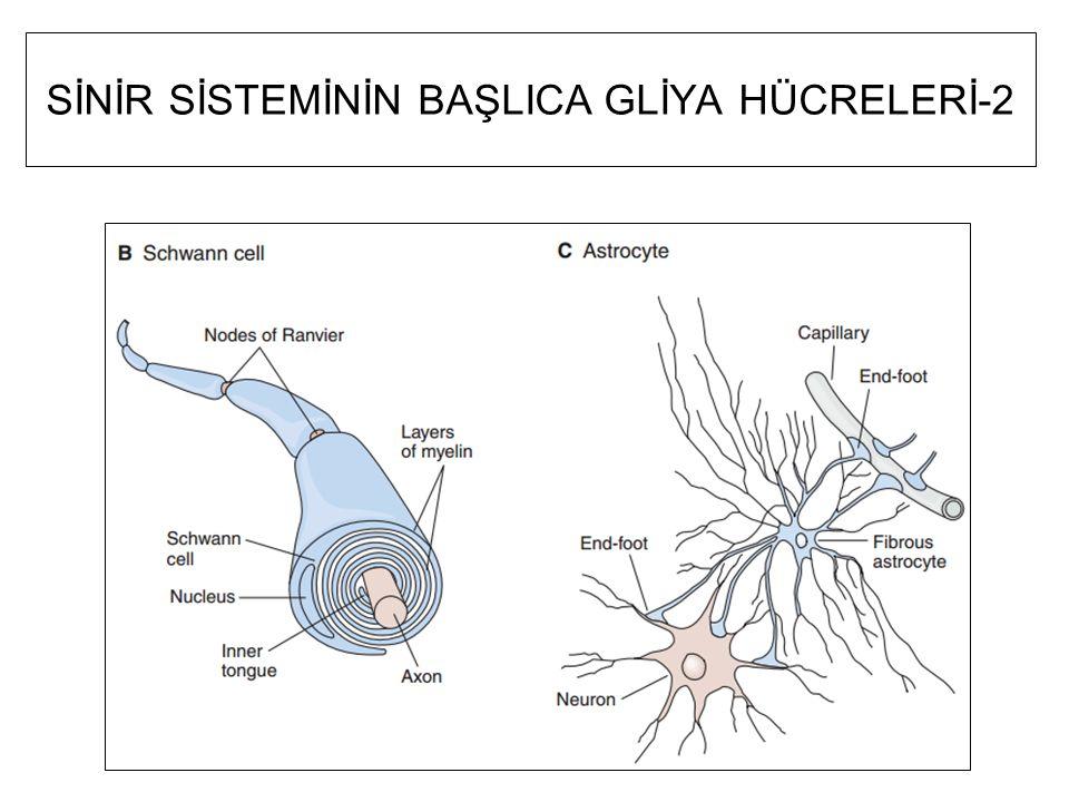 Astrositlerin temel işlevleri Kan kapilerlerine uzantılar gönderir: damarların kan beyin engelini oluşturan sıkı kavşaklar yapmalarını uyarır Sinapsları ve sinir hücre yüzeylerini çevreleyen uzantılar gönderir