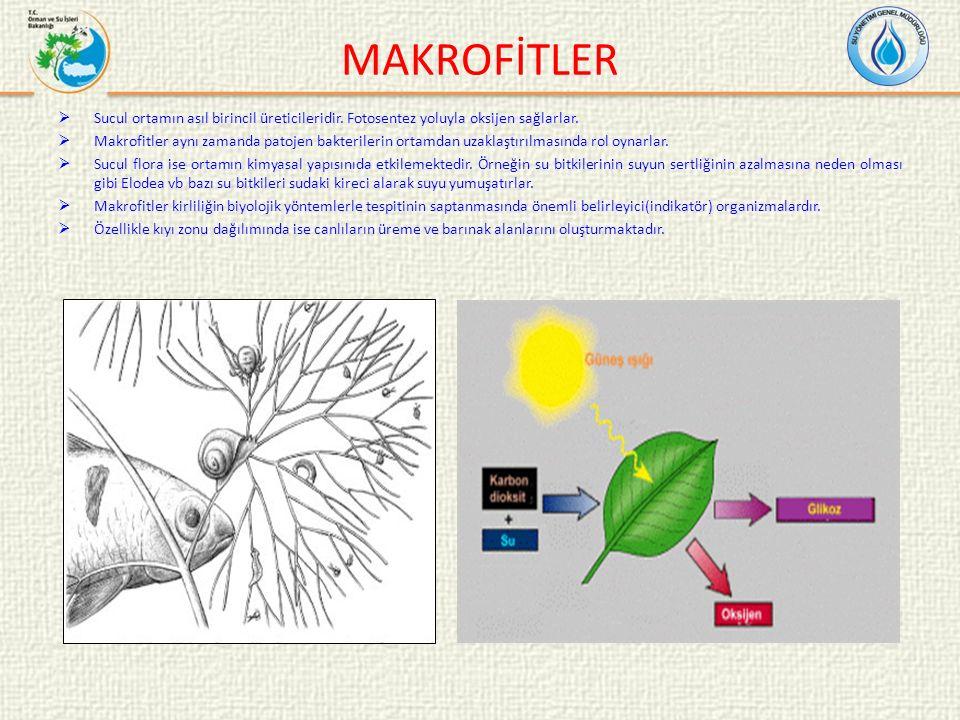 MAKROFİTLER  Sucul ortamın asıl birincil üreticileridir. Fotosentez yoluyla oksijen sağlarlar.  Makrofitler aynı zamanda patojen bakterilerin ortamd