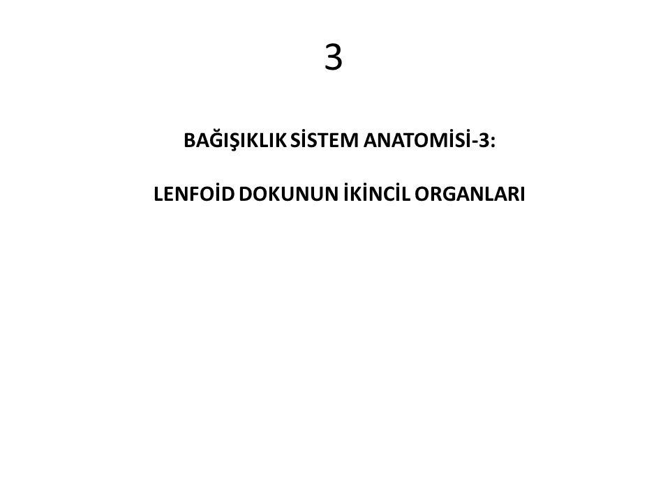 3 BAĞIŞIKLIK SİSTEM ANATOMİSİ-3: LENFOİD DOKUNUN İKİNCİL ORGANLARI