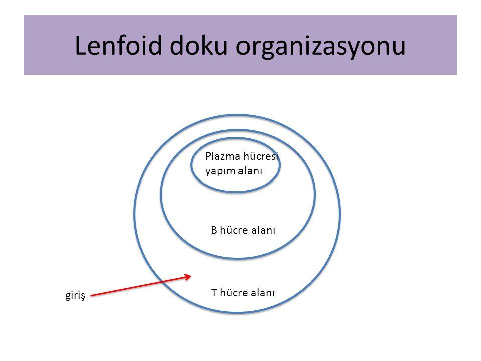 Lenfoid doku organizasyonu T hücre alanı B hücre alanı Plazma hücresi yapım alanı giriş