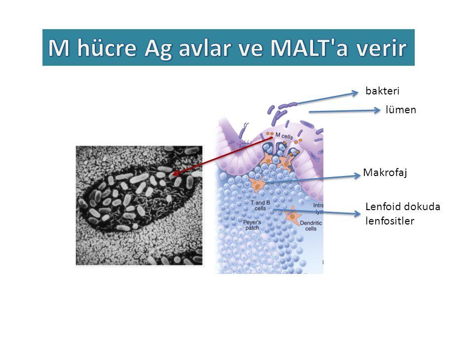lümen bakteri Lenfoid dokuda lenfositler Makrofaj