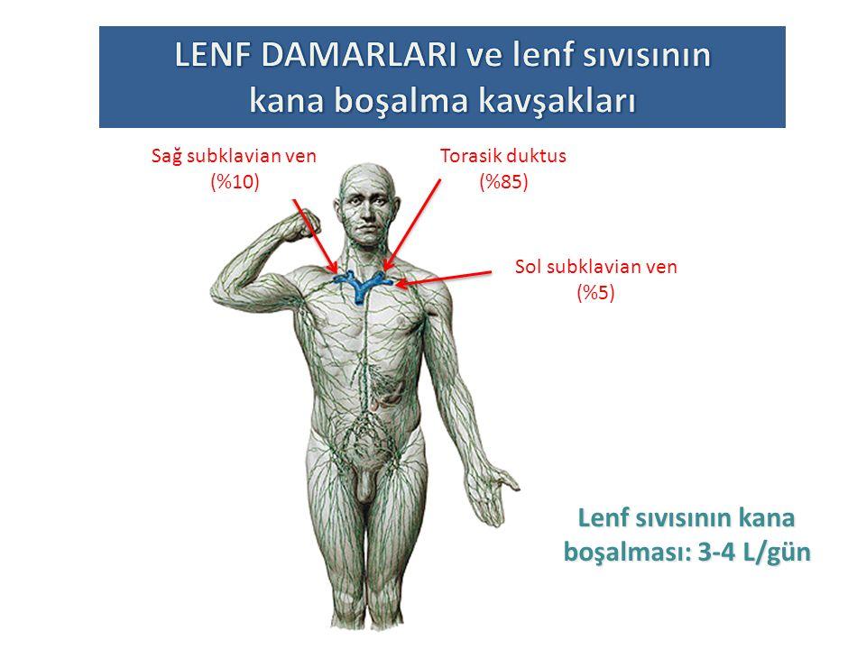 Lenf sıvısının dolaşım enerjisi lenf damarının valfleri ile sağlanır Kör lenf damarları kapilerle yanyana yer alır EMME VALFI KÖR LENF DAMARI