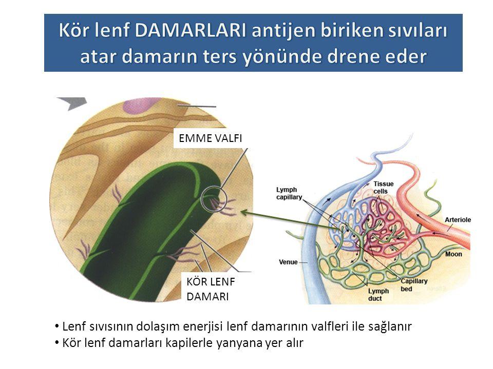 HücreLER HEDEFLENEN YERLERİNE KEMOKİN VE ADEZYON MOLEKÜLLERİ İLE VARIR 5