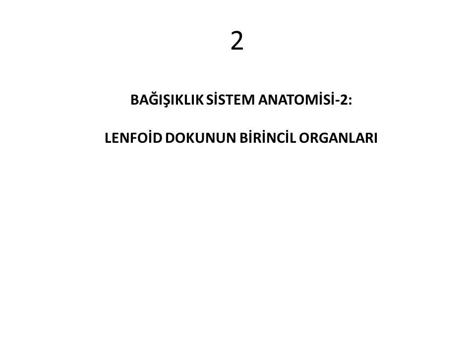 2 BAĞIŞIKLIK SİSTEM ANATOMİSİ-2: LENFOİD DOKUNUN BİRİNCİL ORGANLARI