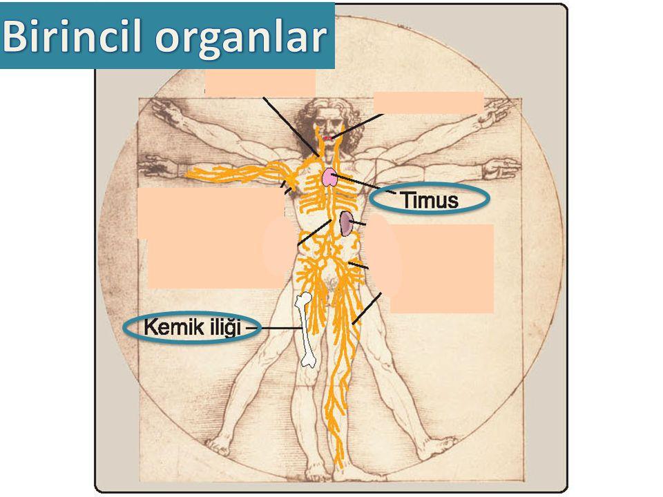 Birincil organlarda bağışıklık sistem hücreleri gelişir Tüm lökositler kemik iliğinde gelişir T lenfositler timusda olgunlaşır (sadece eferent lenf damarı çıkışı vardır)