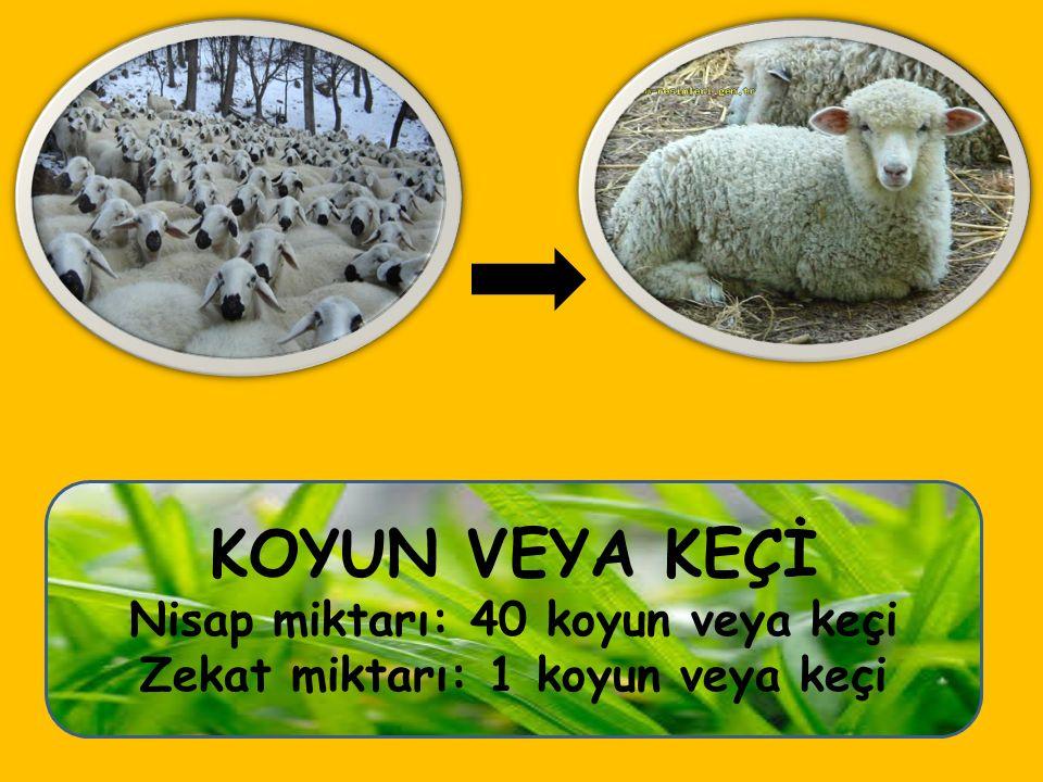 KOYUN VEYA KEÇİ Nisap miktarı: 40 koyun veya keçi Zekat miktarı: 1 koyun veya keçi