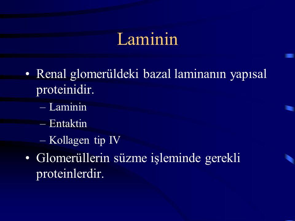 Laminin Renal glomerüldeki bazal laminanın yapısal proteinidir. –Laminin –Entaktin –Kollagen tip IV Glomerüllerin süzme işleminde gerekli proteinlerdi