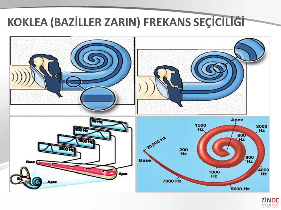 1 1 Koklea hareket enerjisini sinir enerjisine çeviren organdır.