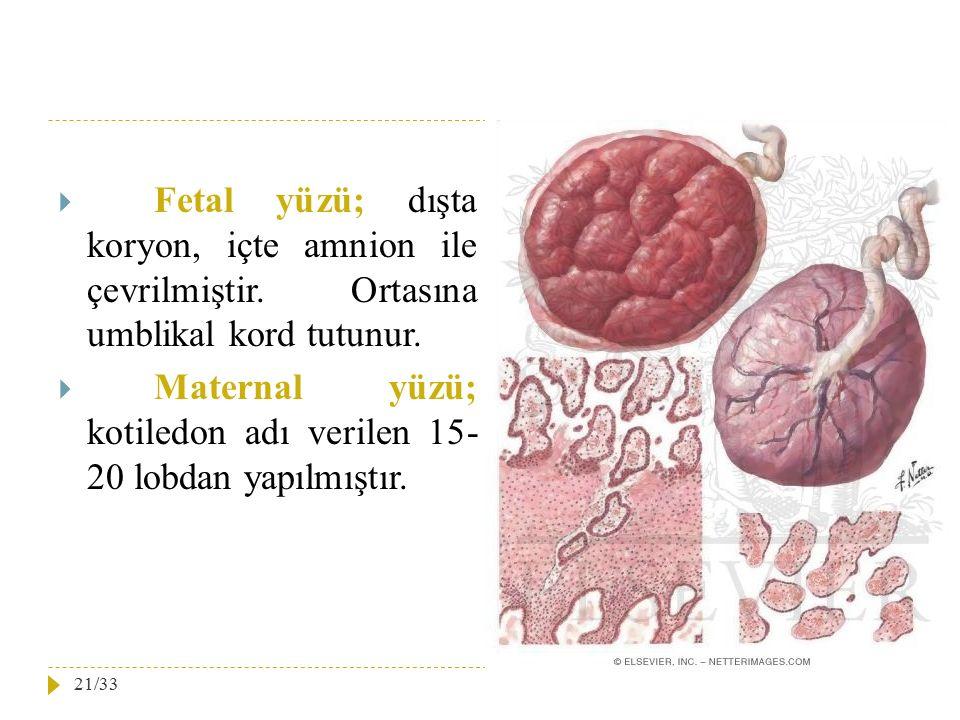  Fetal yüzü; dışta koryon, içte amnion ile çevrilmiştir. Ortasına umblikal kord tutunur.  Maternal yüzü; kotiledon adı verilen 15- 20 lobdan yapılmı