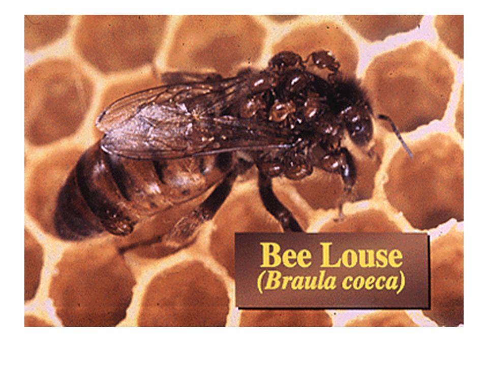 Nekropside nosemose'dan ölen arıların midesi beyaz renklidir.