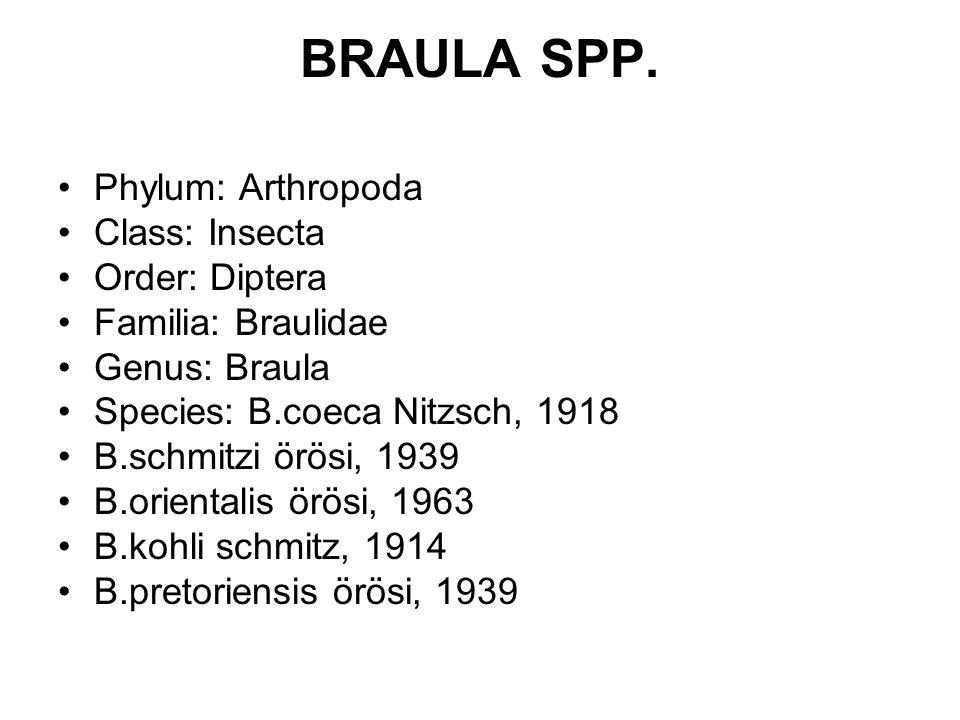 BRAULA SPP.