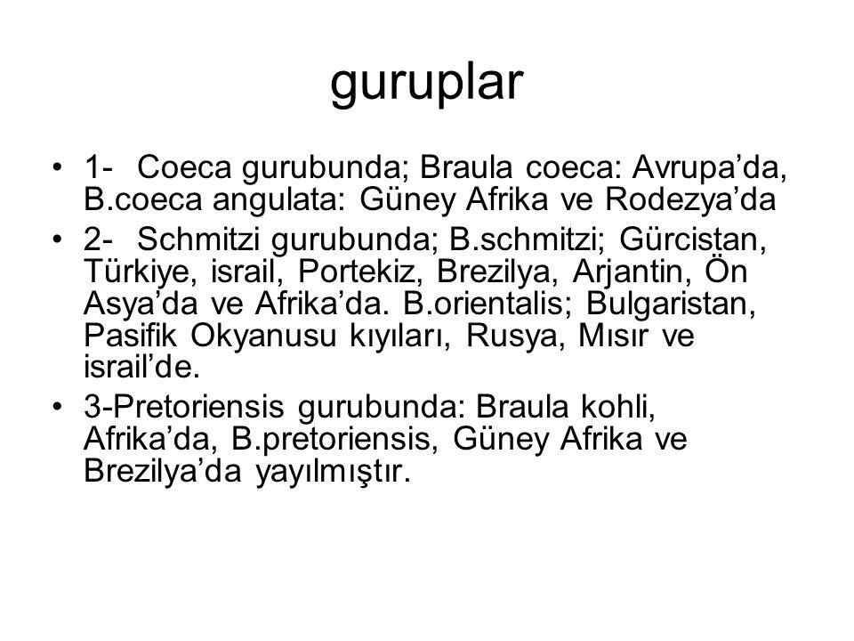 guruplar 1-Coeca gurubunda; Braula coeca: Avrupa'da, B.coeca angulata: Güney Afrika ve Rodezya'da 2-Schmitzi gurubunda; B.schmitzi; Gürcistan, Türkiye, israil, Portekiz, Brezilya, Arjantin, Ön Asya'da ve Afrika'da.