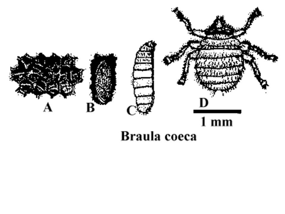 Arılar fumagillin'li şuruplarla beslenirler