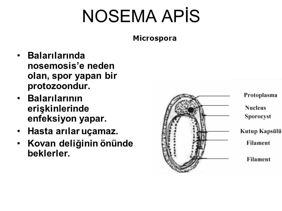 NOSEMA APİS Balarılarında nosemosis'e neden olan, spor yapan bir protozoondur.