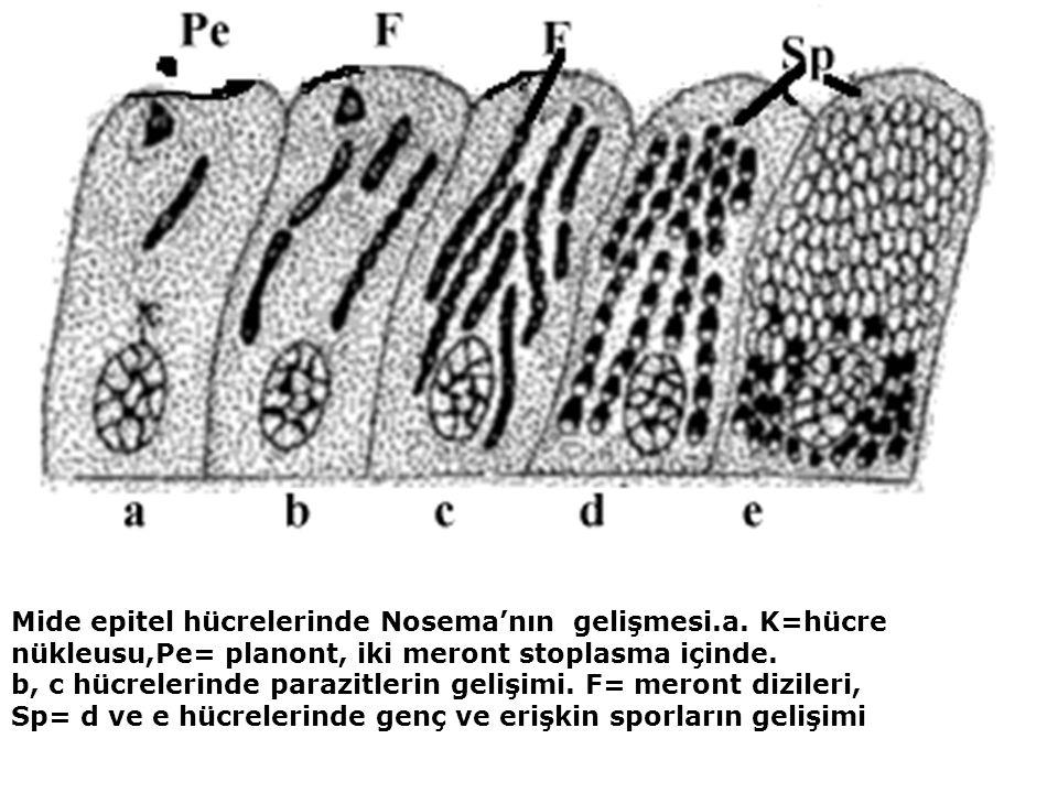 Mide epitel hücrelerinde Nosema'nın gelişmesi.a.