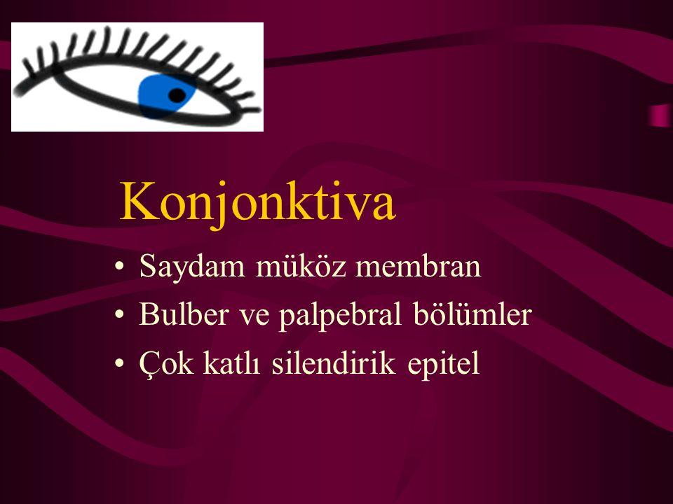 Konjonktiva Saydam müköz membran Bulber ve palpebral bölümler Çok katlı silendirik epitel