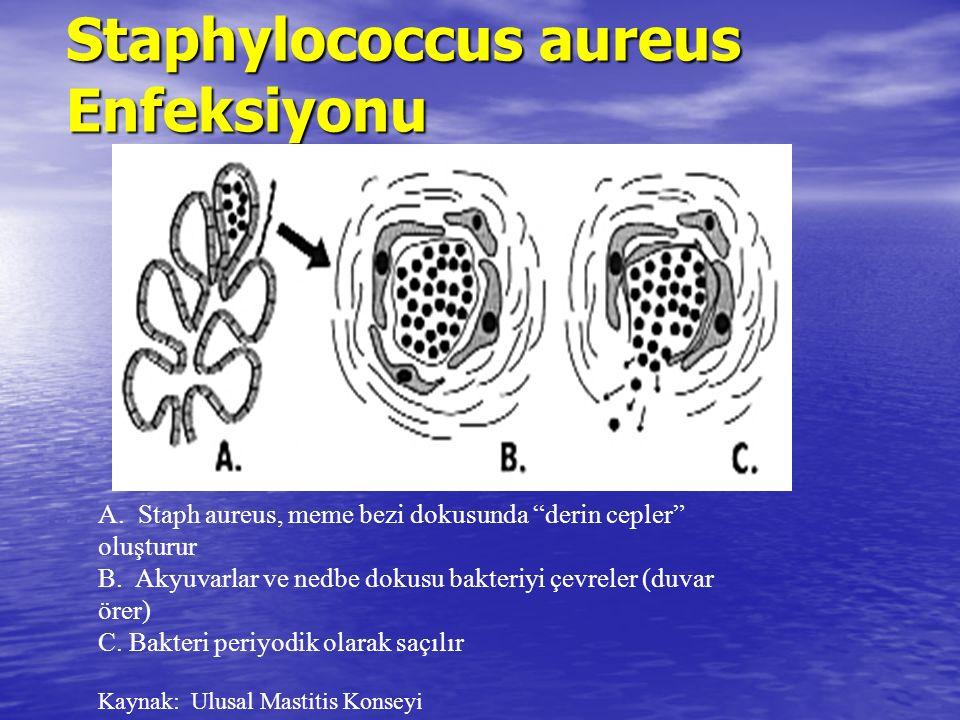 Staphylococcus aureus Enfeksiyonu A. Staph aureus, meme bezi dokusunda derin cepler oluşturur B.