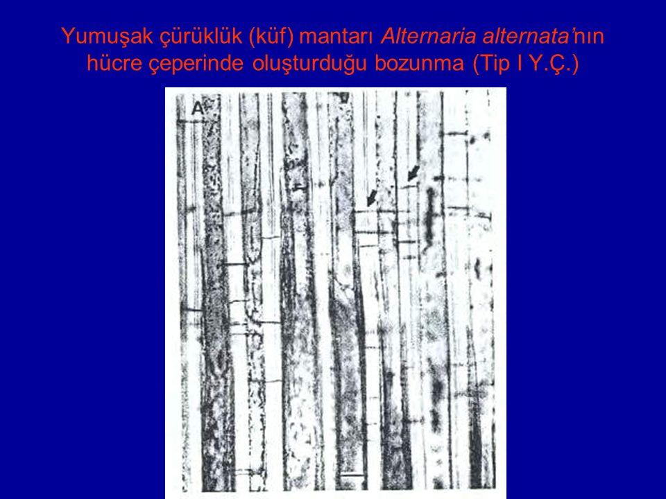 Yumuşak çürüklük (küf) mantarı Alternaria alternata'nın hücre çeperinde oluşturduğu bozunma (Tip I Y.Ç.)
