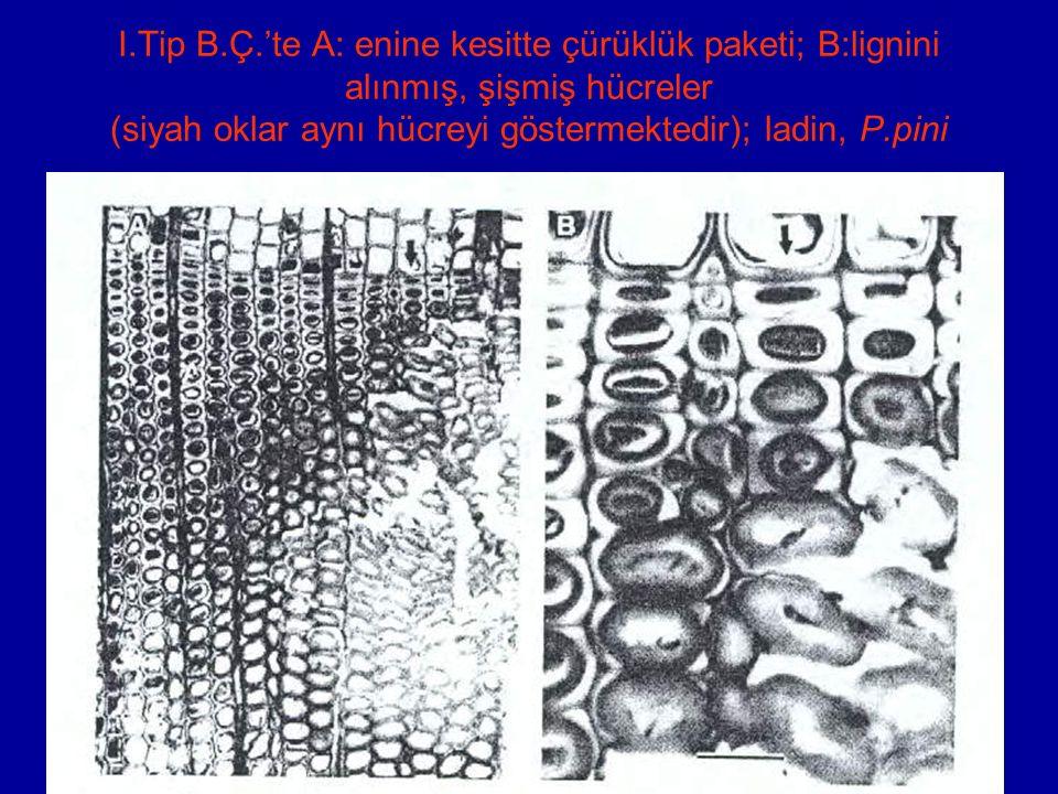 I.Tip B.Ç.'te A: enine kesitte çürüklük paketi; B:lignini alınmış, şişmiş hücreler (siyah oklar aynı hücreyi göstermektedir); ladin, P.pini