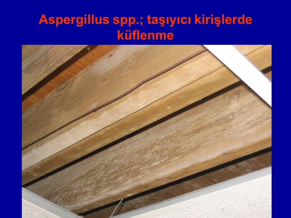 Aspergillus spp.; taşıyıcı kirişlerde küflenme