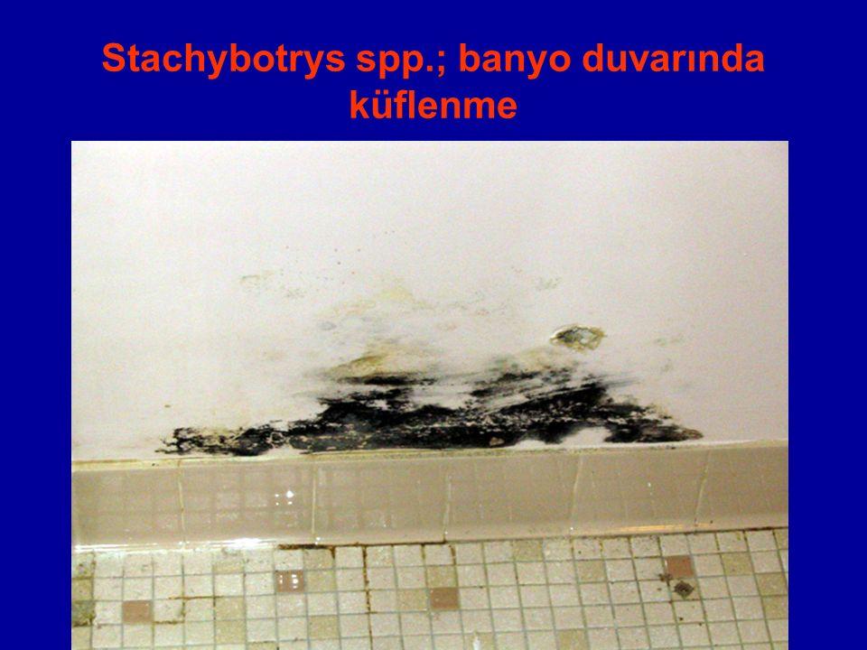 Stachybotrys spp.; banyo duvarında küflenme