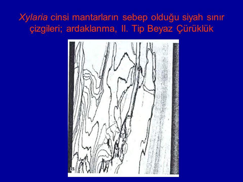 Xylaria cinsi mantarların sebep olduğu siyah sınır çizgileri; ardaklanma, II. Tip Beyaz Çürüklük