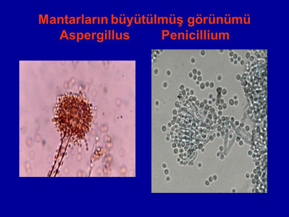 Mantarların büyütülmüş görünümü Aspergillus Penicillium