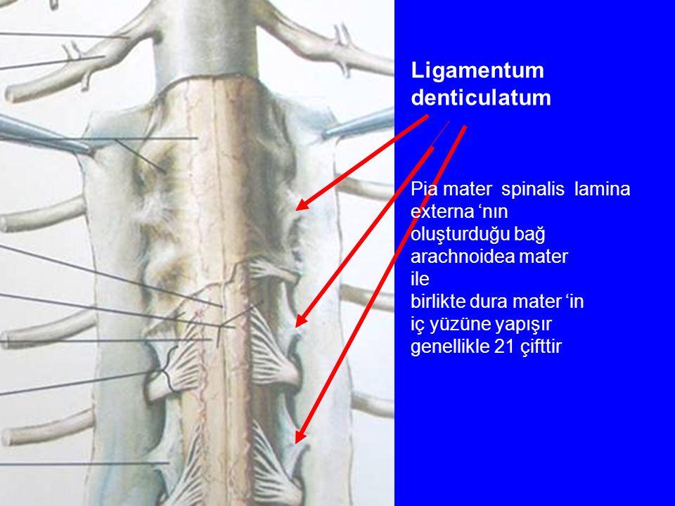Ligamentum denticulatum Pia mater spinalis lamina externa 'nın oluşturduğu bağ arachnoidea mater ile birlikte dura mater 'in iç yüzüne yapışır genellikle 21 çifttir