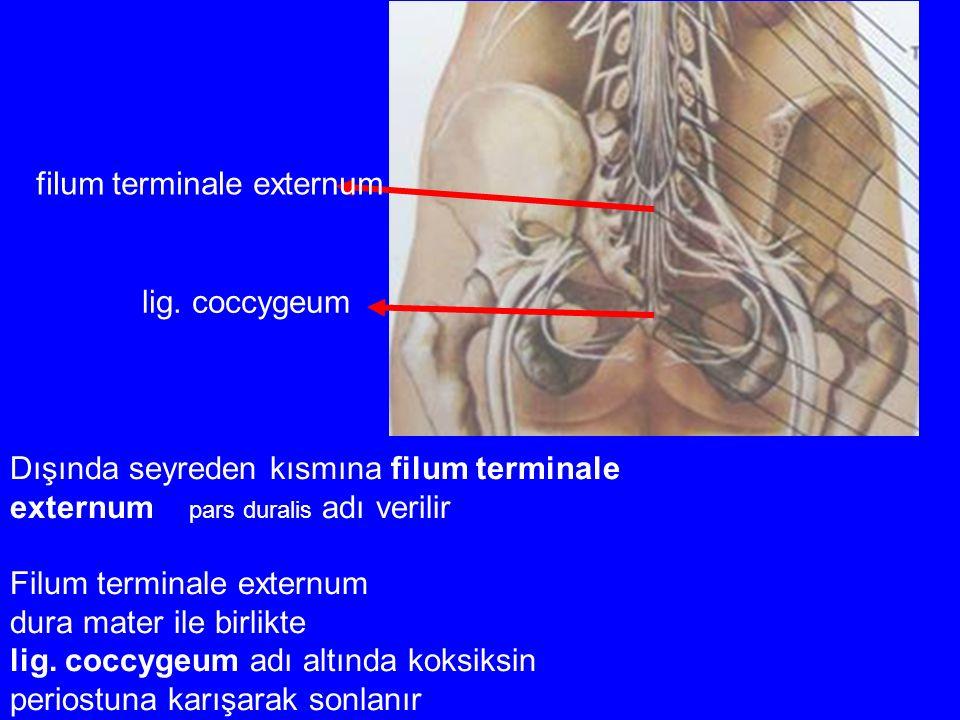 Dışında seyreden kısmına filum terminale externum pars duralis adı verilir Filum terminale externum dura mater ile birlikte lig. coccygeum adı altında