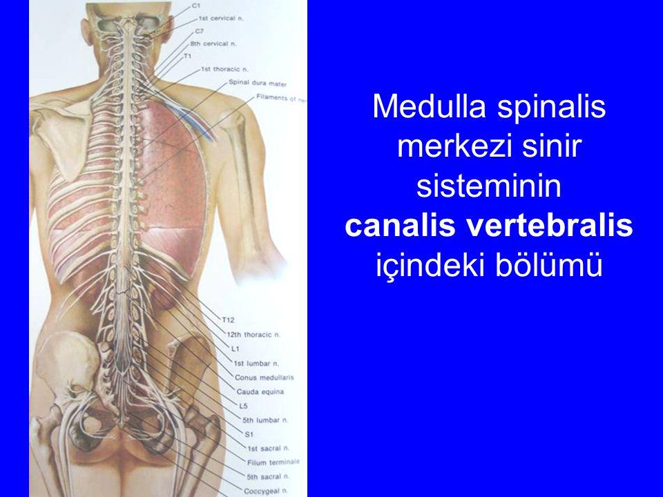 Medulla spinalis merkezi sinir sisteminin canalis vertebralis içindeki bölümü