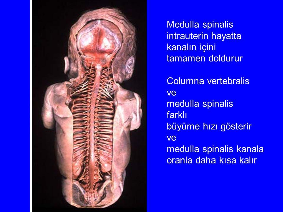 Medulla spinalis intrauterin hayatta kanalın içini tamamen doldurur Columna vertebralis ve medulla spinalis farklı büyüme hızı gösterir ve medulla spi