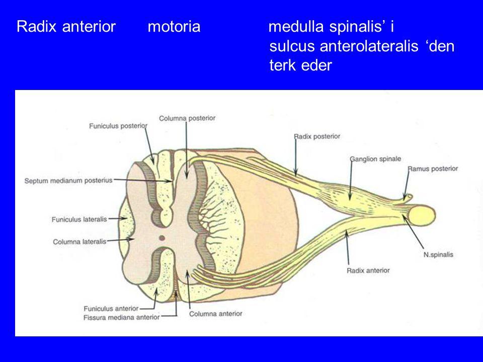 Radix anterior motoria medulla spinalis' i sulcus anterolateralis 'den terk eder