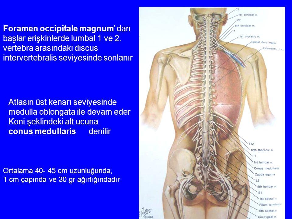 Foramen occipitale magnum' dan başlar erişkinlerde lumbal 1 ve 2.