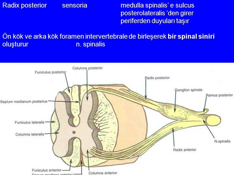 Radix posterior sensoria medulla spinalis' e sulcus posterolateralis 'den girer periferden duyuları taşır Ön kök ve arka kök foramen intervertebrale d