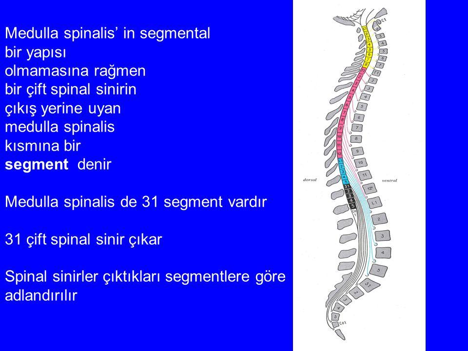 Medulla spinalis' in segmental bir yapısı olmamasına rağmen bir çift spinal sinirin çıkış yerine uyan medulla spinalis kısmına bir segment denir Medul