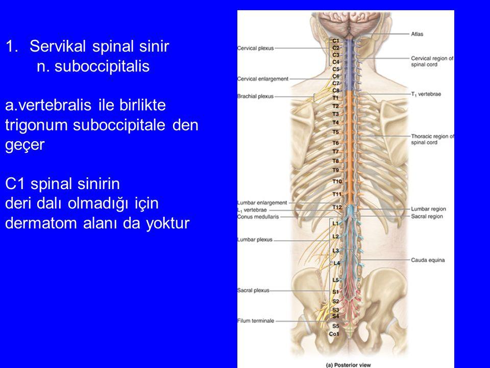 1.Servikal spinal sinir n. suboccipitalis a.vertebralis ile birlikte trigonum suboccipitale den geçer C1 spinal sinirin deri dalı olmadığı için dermat