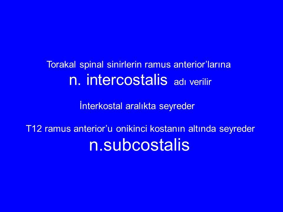 Torakal spinal sinirlerin ramus anterior'larına n. intercostalis adı verilir İnterkostal aralıkta seyreder T12 ramus anterior'u onikinci kostanın altı