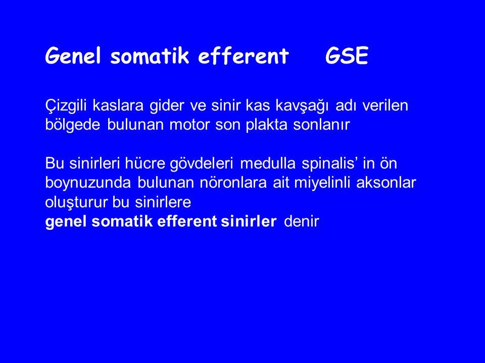 Genel somatik efferent GSE Çizgili kaslara gider ve sinir kas kavşağı adı verilen bölgede bulunan motor son plakta sonlanır Bu sinirleri hücre gövdeleri medulla spinalis' in ön boynuzunda bulunan nöronlara ait miyelinli aksonlar oluşturur bu sinirlere genel somatik efferent sinirler denir