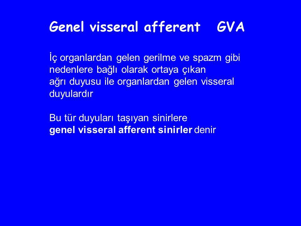 Genel visseral afferent GVA İç organlardan gelen gerilme ve spazm gibi nedenlere bağlı olarak ortaya çıkan ağrı duyusu ile organlardan gelen visseral duyulardır Bu tür duyuları taşıyan sinirlere genel visseral afferent sinirler denir