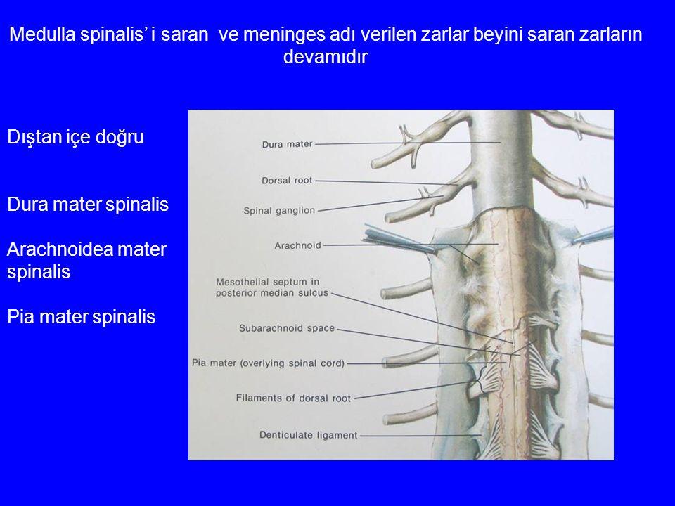 Medulla spinalis' i saran ve meninges adı verilen zarlar beyini saran zarların devamıdır Dıştan içe doğru Dura mater spinalis Arachnoidea mater spinal
