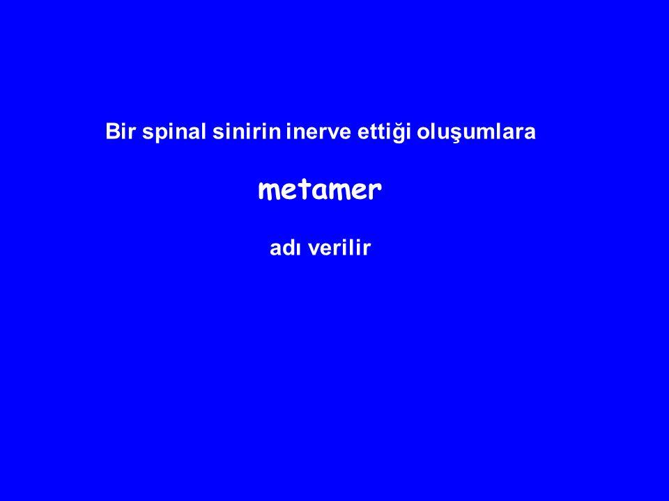 Bir spinal sinirin inerve ettiği oluşumlara metamer adı verilir