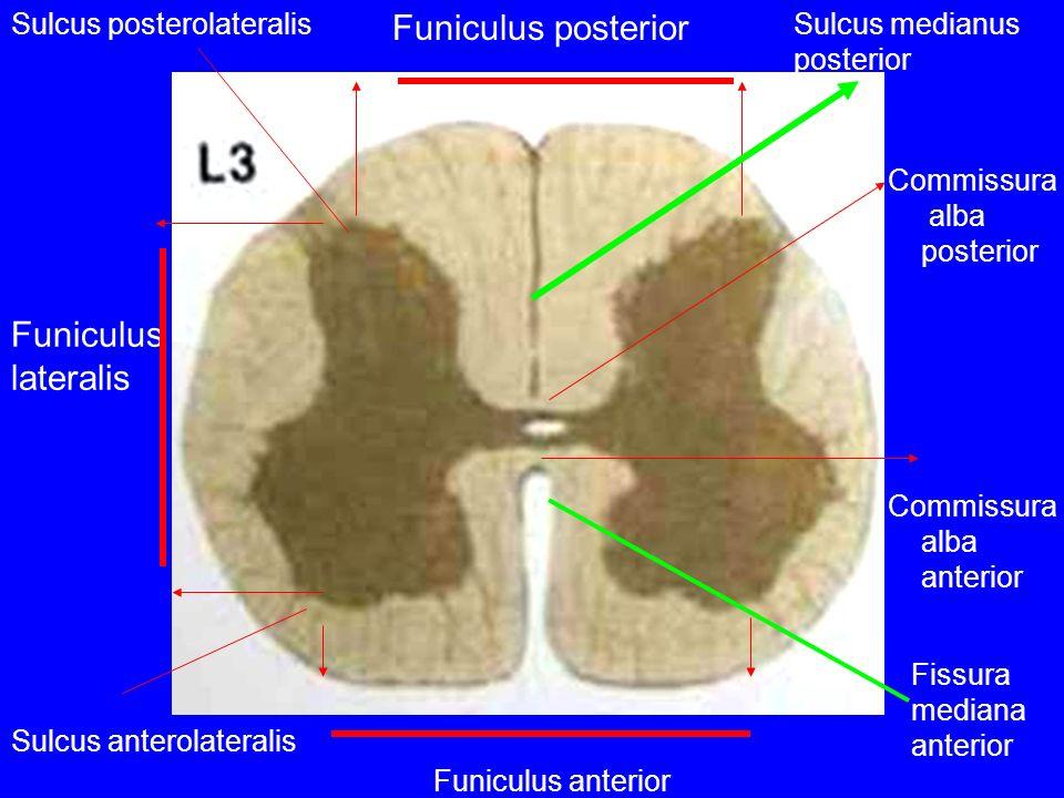 Funiculus posterior Funiculus anterior Funiculus lateralis Commissura alba anterior Commissura alba posterior Sulcus posterolateralis Sulcus anterolat