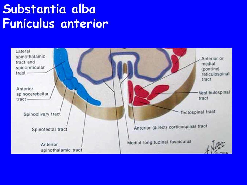 Substantia alba Funiculus anterior