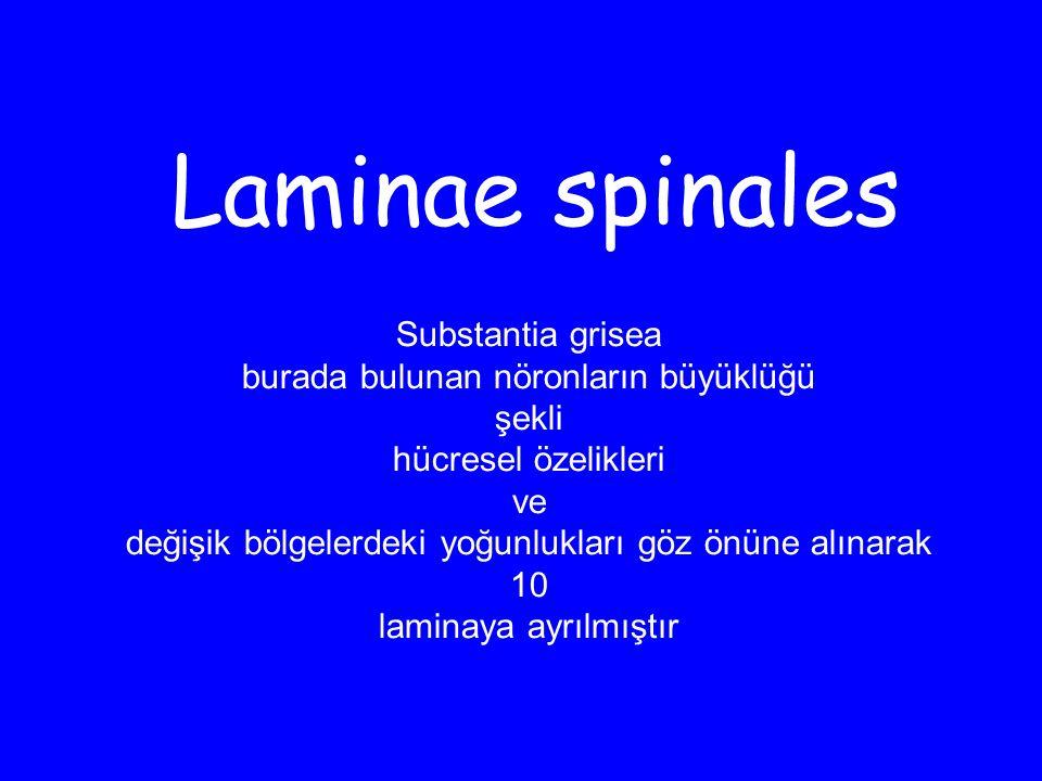 Laminae spinales Substantia grisea burada bulunan nöronların büyüklüğü şekli hücresel özelikleri ve değişik bölgelerdeki yoğunlukları göz önüne alınarak 10 laminaya ayrılmıştır