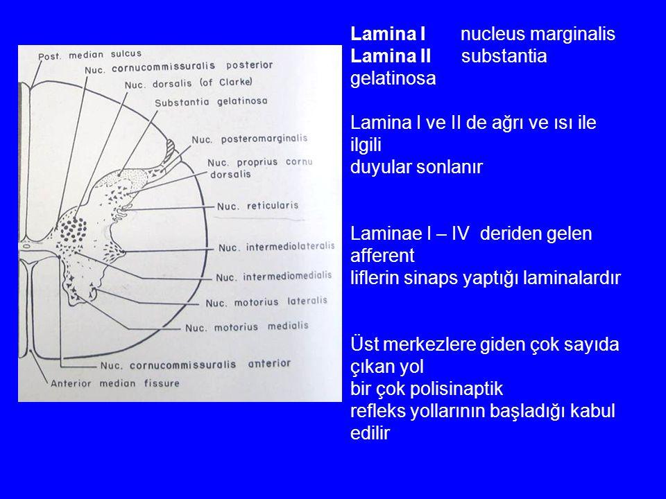 Lamina I nucleus marginalis Lamina II substantia gelatinosa Lamina I ve II de ağrı ve ısı ile ilgili duyular sonlanır Laminae I – IV deriden gelen afferent liflerin sinaps yaptığı laminalardır Üst merkezlere giden çok sayıda çıkan yol bir çok polisinaptik refleks yollarının başladığı kabul edilir